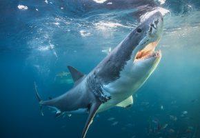 Обои Белая акула, акула, рыбы, море, плавники, зубы