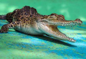 Обои крокодил, пасть, зубы, лапы, кожа