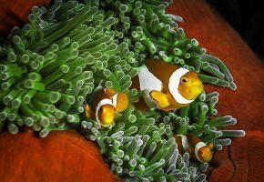 Обои кораллы, рыбы, клоуны, полосы, плавники