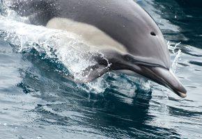 Обои Дельфин, вода, брызги, плывет, нос