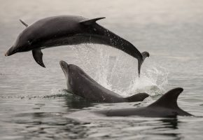 Обои дельфины, море, прыжок, брызги