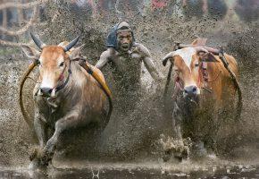 Обои гонка, быки, буйволы, грязь, брызги, бег