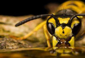 Обои Bee, пчела, насекомое, усы, глаза, макро