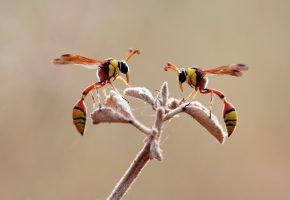 Обои осы, ветка, крылья, лапки, насекомое