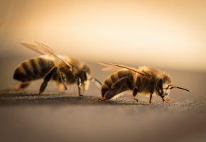 Обои пчёлы, макро, лапки, усики, крылья
