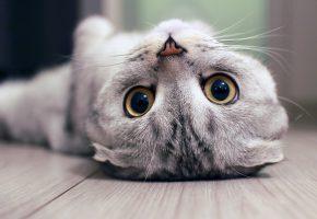 Обои Cats, eyes, кот, кошка, глаза, вислоухий