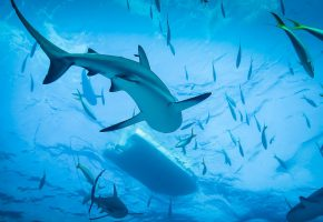 Обои Shark, Diving, Ocean, Акула, океан, дайвинг, рыбы