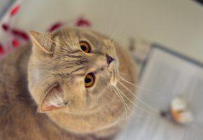 Обои Кот, cat, eyes, кошка, питомец, глаза, домашнее животное, взгляд