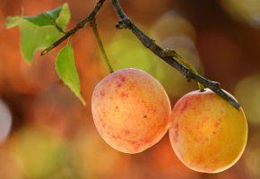 Обои слива, фрукты, макро, ветка, листья