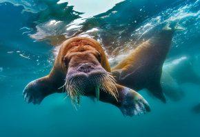 Обои морж, бивни, вода, Северный, Ледовитый, океан