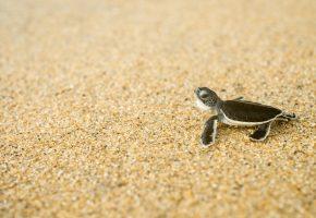 Обои черепаха, малыш, вода, панцирь, песок
