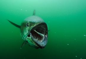 Обои тунец, охота, рыбалка, пасть, плавники