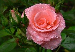 Обои цветы, роза, бутон, капля