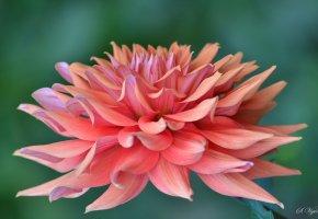 Обои цветы, георгин, лепестки, флора