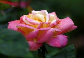 Обои цветы, бутон, роза.флора