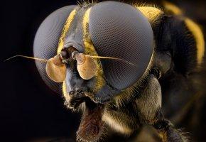 Обои насекомое, макро, муха, глаза, волосики