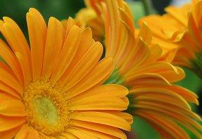 Обои цветы, герберы, флора