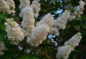 Обои весна, цветы, сирень, белая