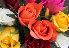Обои розы, флора, цветы