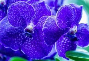 Обои орхидеи, цветы, лепестки