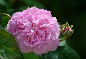 Обои цветы, роза, бутон, розовый