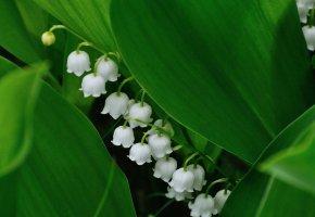 Обои цветы, ландыш, весна