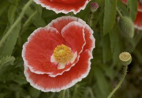 Обои маки, лепестки, цветы