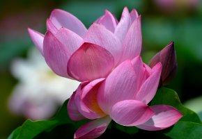 Обои водяная лилия, лотос, кувшинка