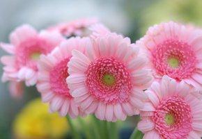 Обои цветы, герберы, лепестки