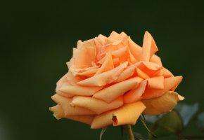 Обои цветы, роза, бутон