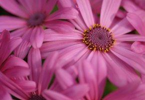 Обои Остеоспермум, лепестки, макро, цветок