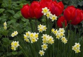 Обои клумба, тюльпаны, нарцисы, весна