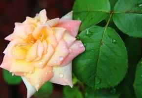 Обои роза, куст, капля, бутон