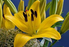Обои лилии, макро, фон