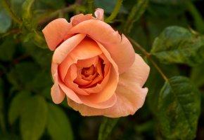 Обои роза, куст, бутон, листья