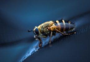 Обои Насекомое, муха, крылья, макро, лапки