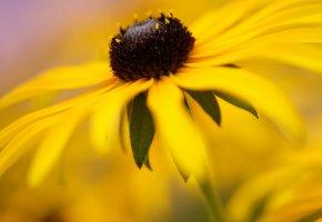 Обои природа, nature, flowers, ромашка, желтая, лепестки