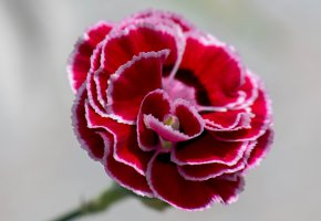 Обои цветок, лепестки, гвоздика, бутон