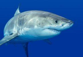 Обои акула, белая, хищник, рыба, зубы