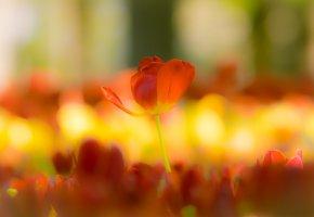 Обои тюльпаны, лепестки, фон, размытость, цветок