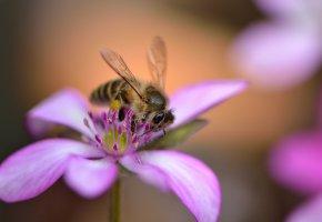 Обои цветок, розовый, лепестки, пчела, крылья