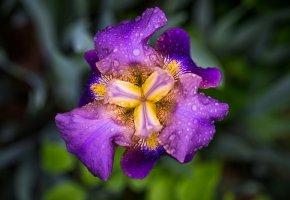 Обои ирис, цветок, лепестки, капли