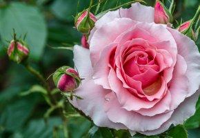 Обои роза, красивая, бутоны, макро