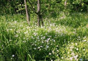 Обои лес, зелень, трава, цветы, ромашки, oboitut, деревья