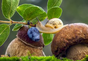 Обои грибы, боровики, улитка, трава, черника, макро