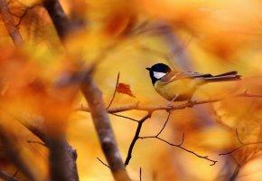Обои птица, синица, осень, дерево, ветки