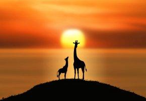 Обои жирафы, солнце, силуэты, холм