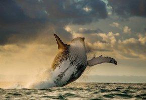 Обои кит, прыжок, океан, плавники, брызги