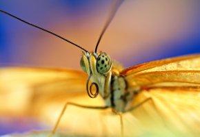 Обои бабочка, крылья, глаза, антены, antennae, eyes, butterfly