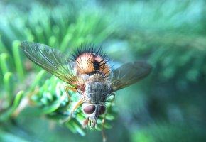 Обои муха, насекомое, макро, волосики, крылья